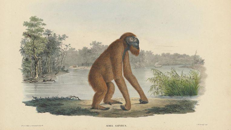 19-de eeuws materiaal uit de collectie van de Naturalis: een oerang-oetan op Borneo Beeld
