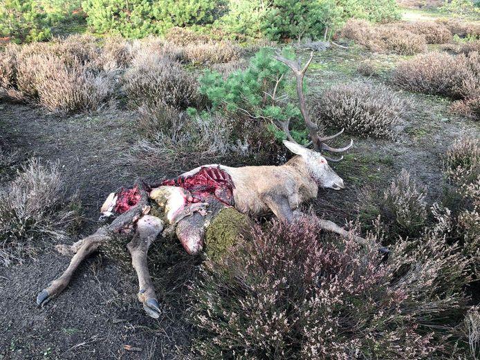 Een door wolven gedood en aangevreten edelhert op de Veluwe.