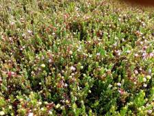 Grote oogst cranberry's op komst in Oss