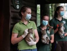 Kerngezonde lynxen wacht een leven in Polen