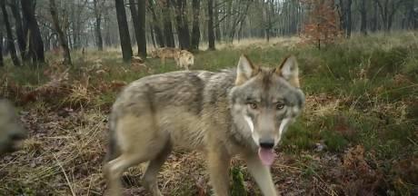 'Noodzaak voor wolvenvrije gebieden is hoog' vindt CDA Gelderland