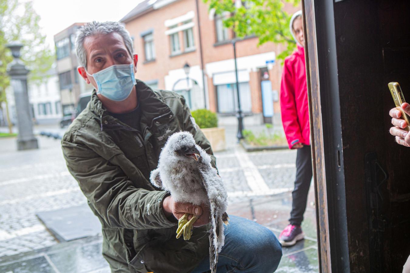 Geert Van de Vijver met één van de vier jonge slechtvalkjes.