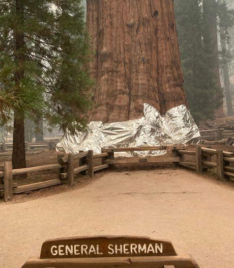 Des séquoias emballés dans de l'aluminium pour les protéger des incendies