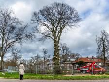 Tranen vloeien als de zaag in de iconische rode beuk gaat: 'Bedankt lieve boom, voor alle mooie jaren'
