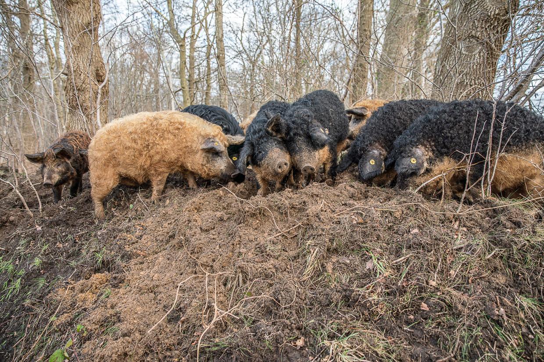 De Hongaarse wolvarkens (Mangalitza) van Hans Wilpstra ploegen door het bos op een perceel bij Roderesch.  Beeld Harry Cock / de Volkskrant