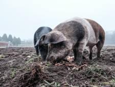 Deze varkens vinden buitenlucht eng