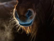 Stiefdochter failliete paardenhandelaar Hoge Hexel eist paard terug van curator