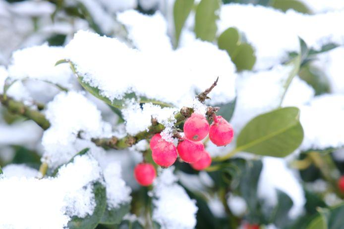 Sneeuw blijf mooi liggen op struiken in de tuin. Weerselo.
