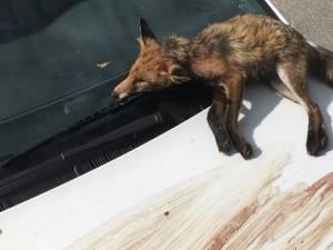 Un renard mort sur le capot de sa voiture: la mauvaise surprise d'un militant anti-chasse