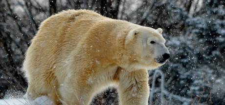 Mannetjesijsbeer doodt vrouwtje tijdens seks in Amerikaanse dierentuin