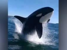 Une orque s'amuse avec les passagers d'un bateau