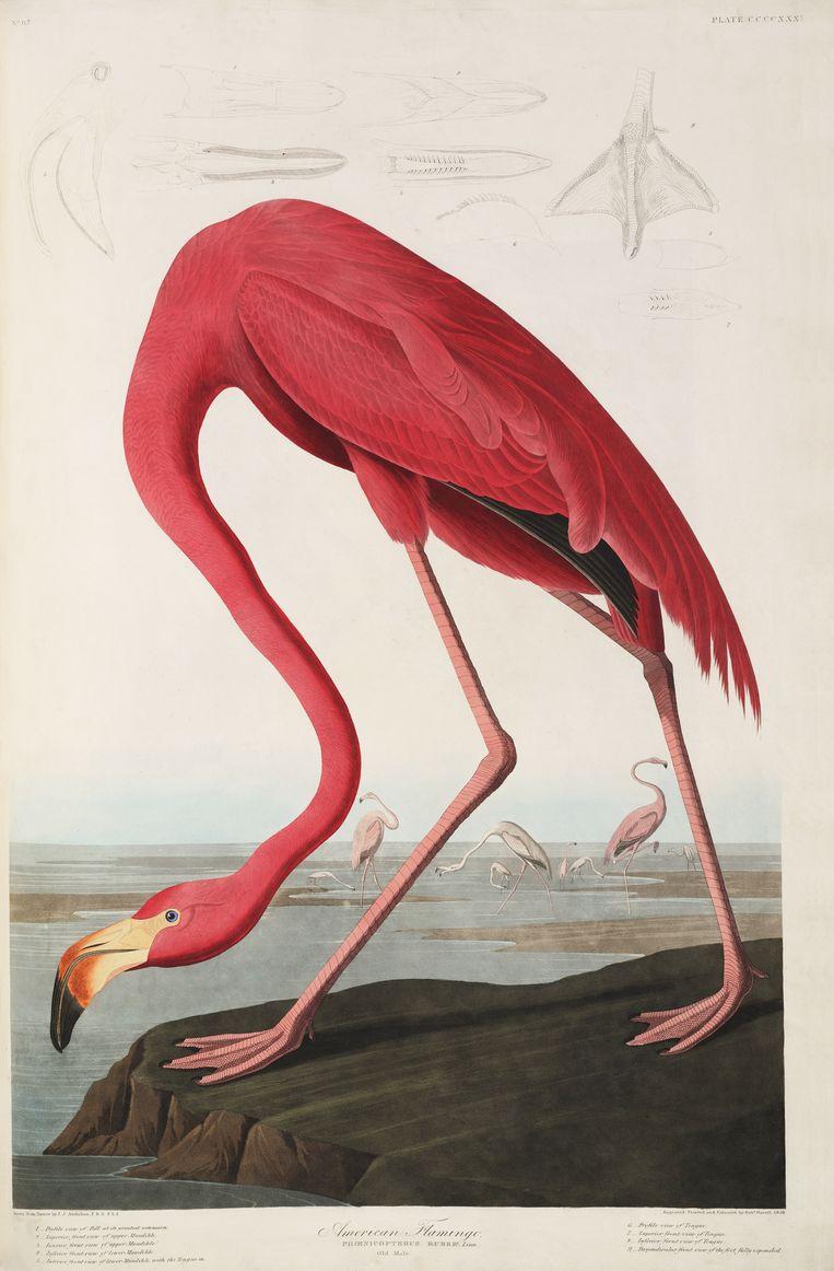 Amerikaanse flamingo door J.H. Audubon  Beeld Teylers Museum