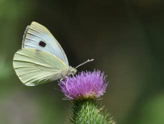 NINA zomert: help de vlinders door bloemen te planten