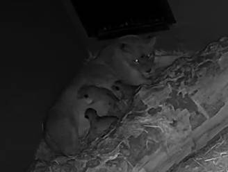 Groot nieuws voor Antwerpse ZOO: leeuwin Tasa bevallen van drie welpjes