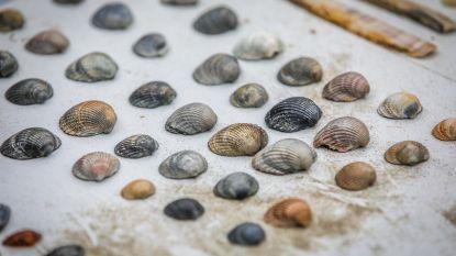 Halfgeknotte strandschelp en Kokkel meest gevonden schelpen aan de kust