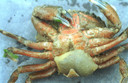 Het krabbenzakje (onderaan de krab)