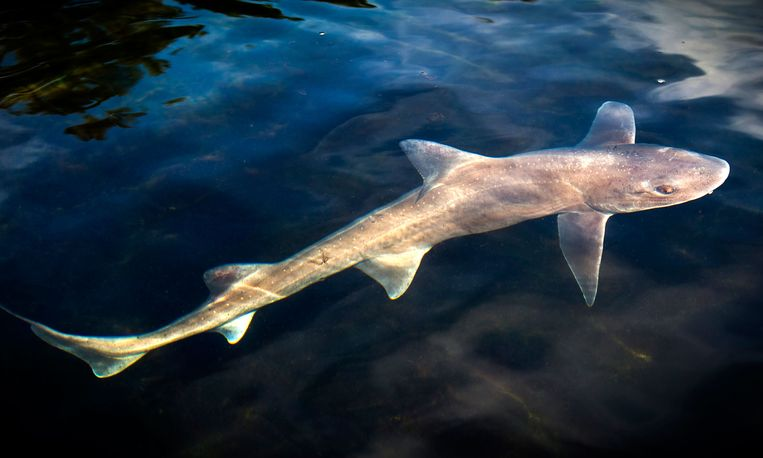 Gespot: haaien voor de Waddenkust