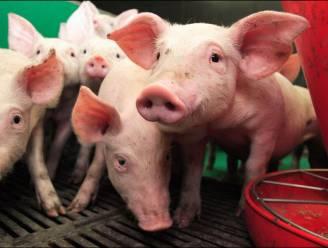 Twee ton verboden middelen voor varkens onderschept