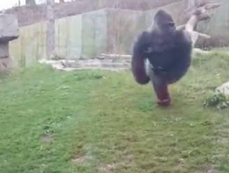 Boze gorilla breekt glas van verblijf in dierentuin