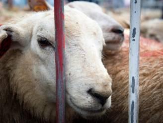 Sluikslachting op heterdaad betrapt: verwaarloosde dieren en illegalen aangetroffen