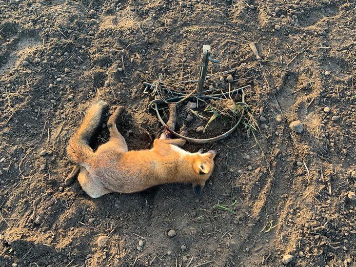 """De vos in Oosterbeek die het slachtoffer werd van een illegale wildklem. ,,Dit mag echt niet. Een dier lijdt hier enorm mee."""""""