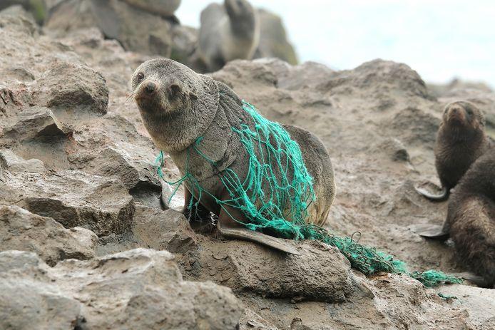 Een zeehond zit verstrikt in een net. Afval in de oceanen levert grote problemen op voor dieren.