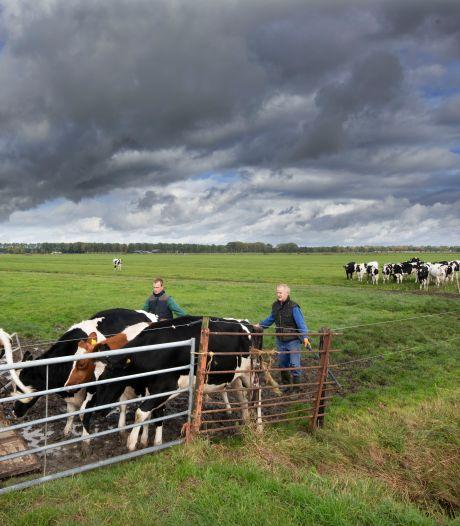 Boer Toon brengt zijn drachtige, jonge koeien terug naar stal in Zoelmond