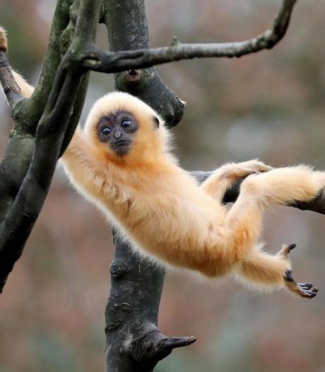 Vermist aapje overleden in Artis