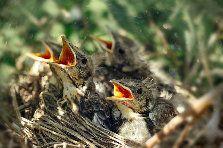 Vogelnest Beeld Getty Images