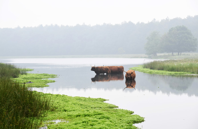 Schotse Hooglanders zorgen voor extensieve begrazing op een deel van Landgoed De Pannenhoef.
