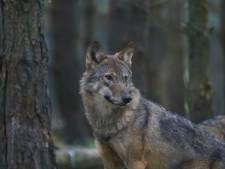 De wolf zal ons goed doen