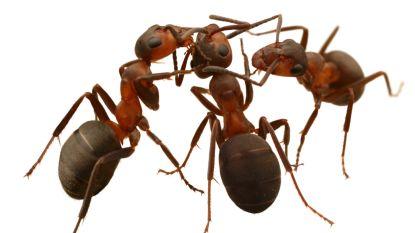 Werken mieren in ploegenstelsel?
