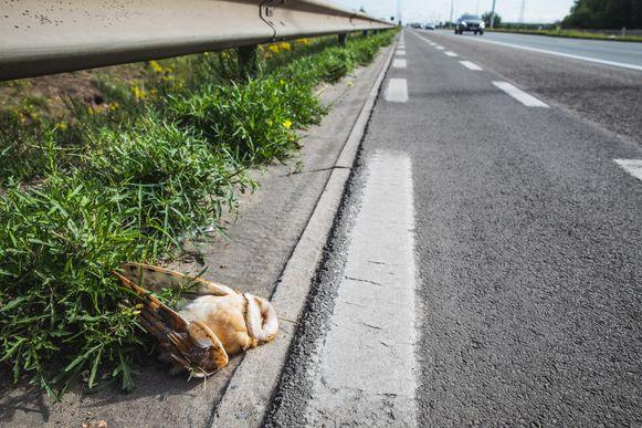 De kerkuil krijg je zelden te zien, behalve dan als zo'n prachtig dier sneuvelt in het verkeer