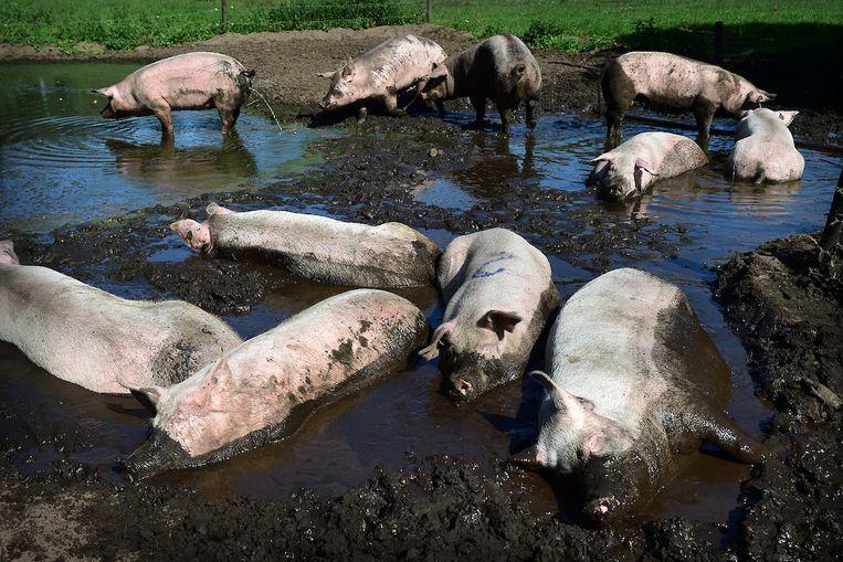 Varkens op een biologische varkenshouderij in Raalte.  Beeld Marcel van den Bergh /de Volkskrant