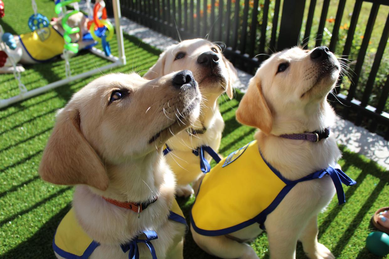 Bij het Canine Companions for Independence-project worden puppy's tot begeleidingshond opgeleid.  Beeld Jared Lazarus