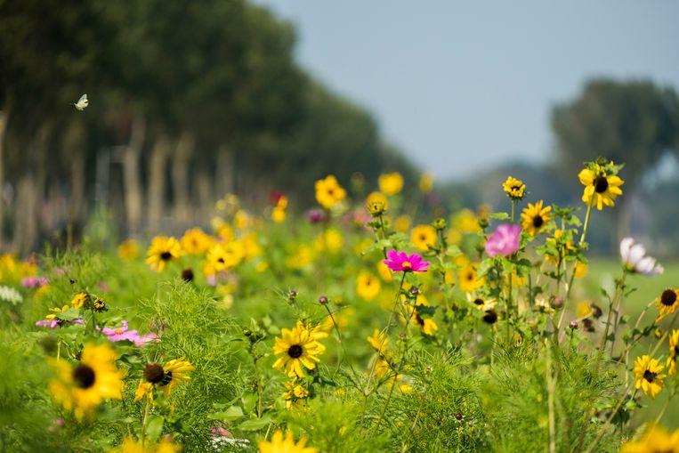Bloeiende akkerranden, zoals hier in de Beemster, zijn goed voor de biodiversiteit en dus ook voor de natuurlijke vijanden van plaagsoorten. Beeld Hollandse Hoogte / Michiel Wijnbergh Fotografie