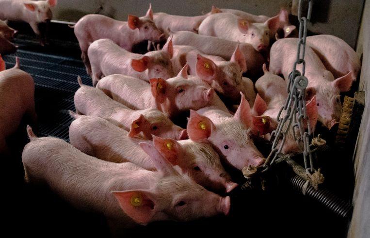 Varkens knagen in hun stal in Nijkerk aan plastic buizen aan een ketting. De rechter heeft een andere varkenshouder een boete opgelegd van 750 euro omdat in de stallen geen speelgoed voor de varkens aanwezig was. Varkenshouders zijn verplicht om voor voldoende afleidingsmateriaal te zorgen in varkensstallen. Met de maatregel moet worden voorkomen dat varkens uit verveling aan elkaar gaan vreten. Beeld HH, ANP