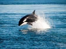 Drone filmt bijzondere ontmoeting tussen kajakker en orka