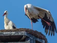 Pa ooievaar verdedigt het nest