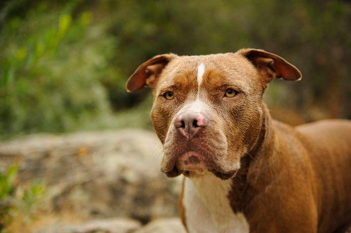 Een American Pitbull Terrier. Foto ter illustratie.
