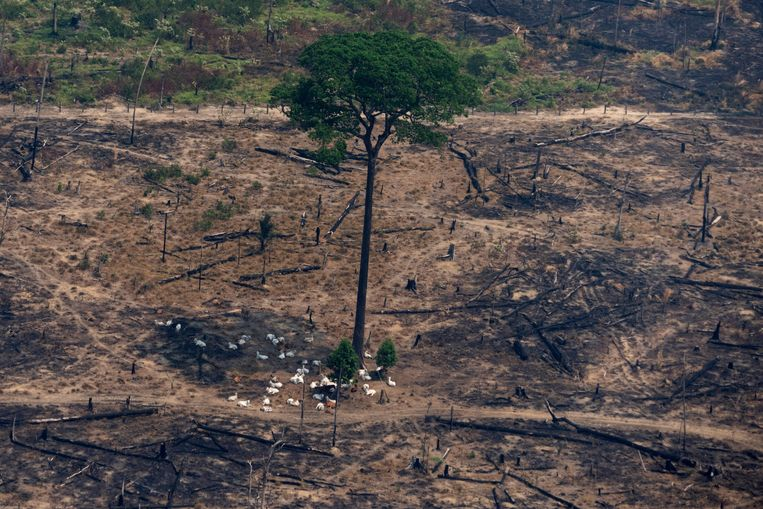 Vee rust in de schaduw van een boom, op een stuk land dat bewust is afgebrand vlakbij Porto Velho, Brazilië.  Beeld AP