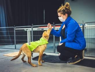"""Labrador August heeft het perfecte assistentiehonden DNA en legt eerste test af in Merelbeke: """"Via genetica de wachtlijsten voor hulphonden wegwerken"""""""