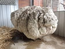 Wolligste schaap ter wereld Chris (10) overleden