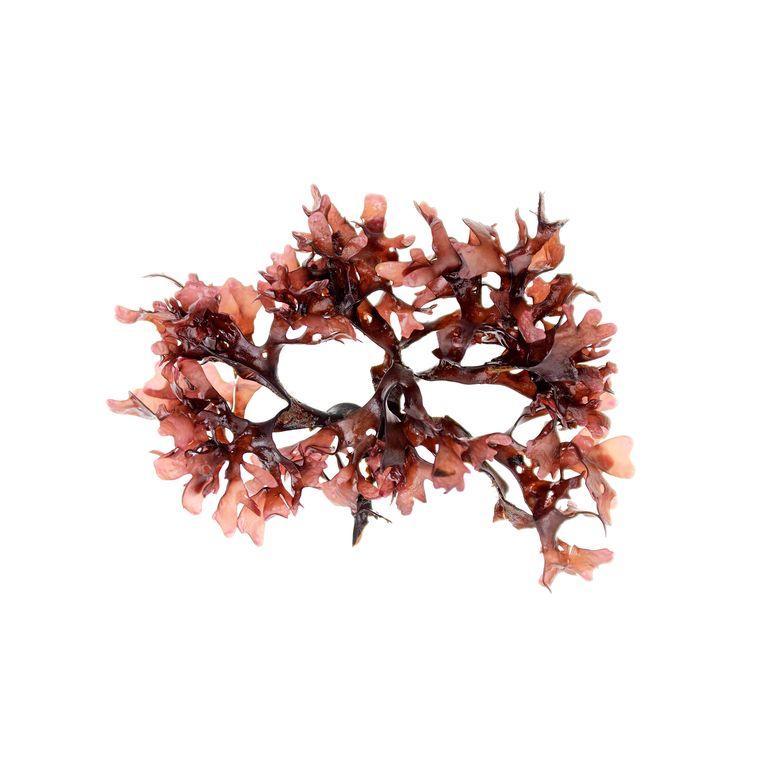 De Petit goémon (Chondrus crispus) is een niet-dierlijke gelatine. Beeld Alamy Stock Photo