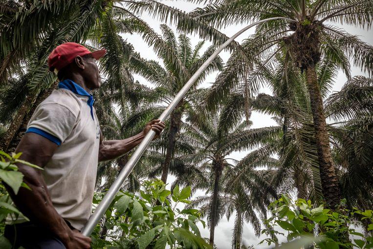 Door oprukkende grote commerciële palmolieplantages hebben dorpelingen steeds minder grond tot hun beschikking om zelf voedsel te verbouwen. Ook hun eigen traditionele palmolieboomgaarden komen in de verdrukking. Beeld Sven Torfinn