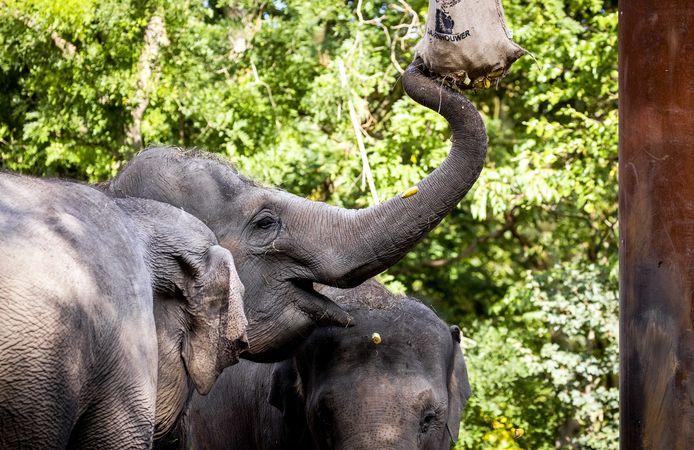 De olifanten van diergaarde Blijdorp smullen van een traktatie.