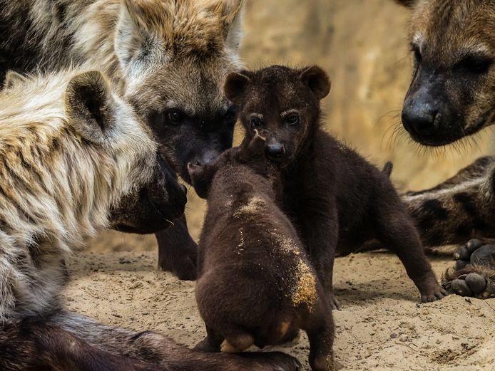 Twee hyenapups geboren in Safaripark Beekse Bergen.