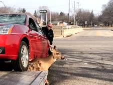 Une dépanneuse libère un cerf piégé sous une voiture