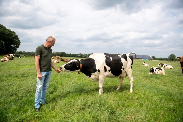 Boer Geert Stevens in de wei bij zijn koeien.