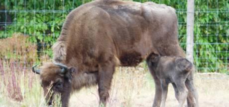 Niet iedereen is bang voor de wolf: ouders wisent-kalfje jagen roofdier simpel weg
